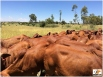 Boran Heifers