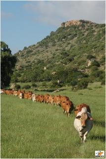 Vastrap Boran herd