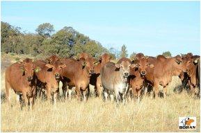 Group of Vastrap Rustin heifers