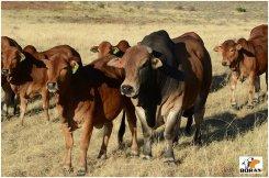 Young bull Zambucca VST 11-01 (Khan x Zelma) with heifers